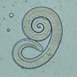 Methylated nematode
