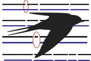 swallow genome