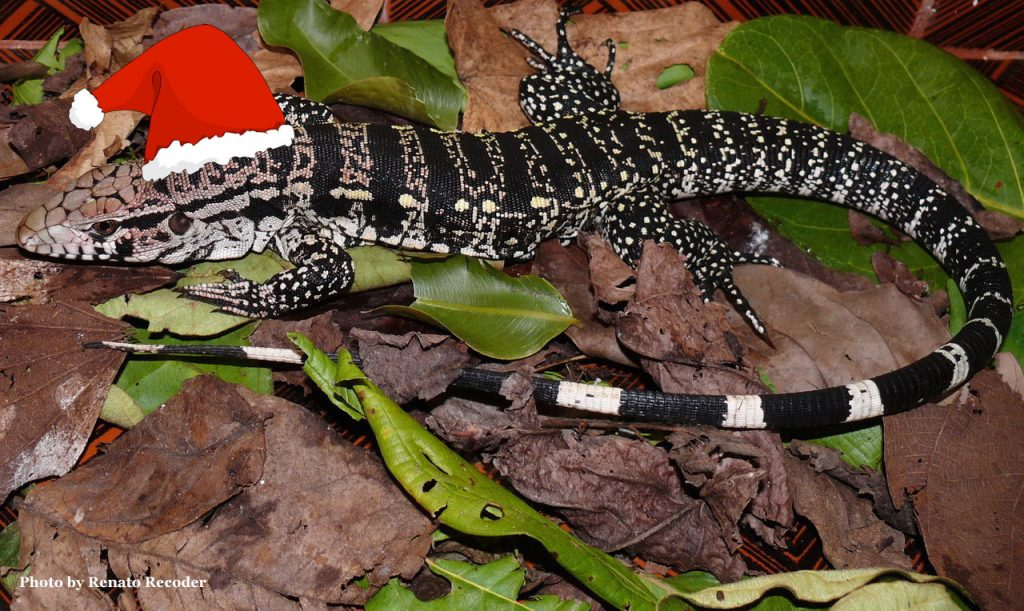 All I want for Xmas is Tegu