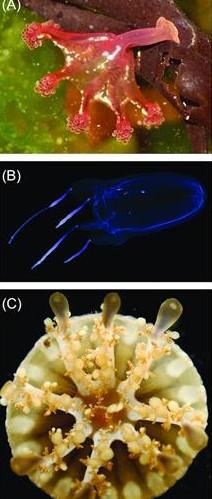 Jellyfish genomes