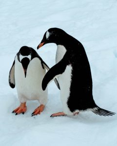 Penguin genomes
