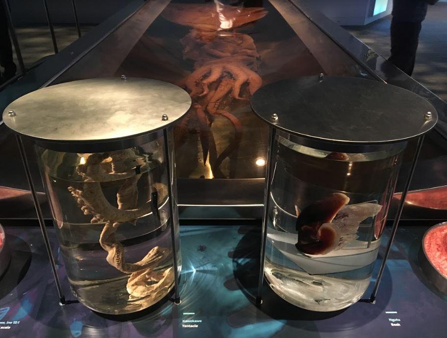 giant squid genome