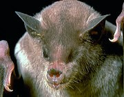 Another example for bat genomics