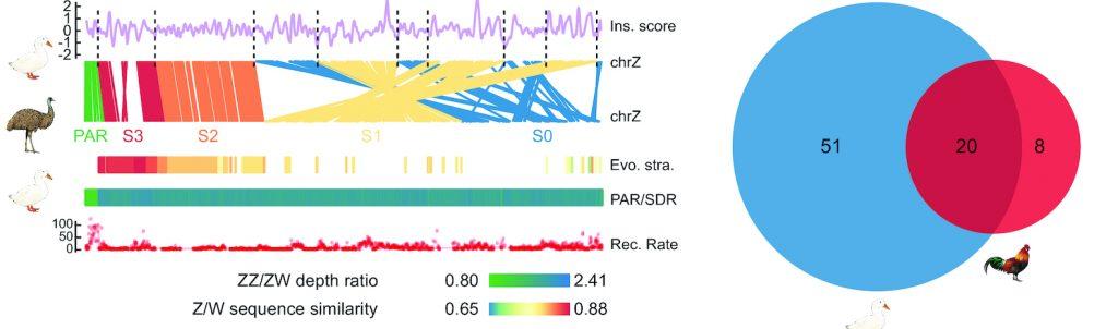 duck genome and sex chromosome evolution