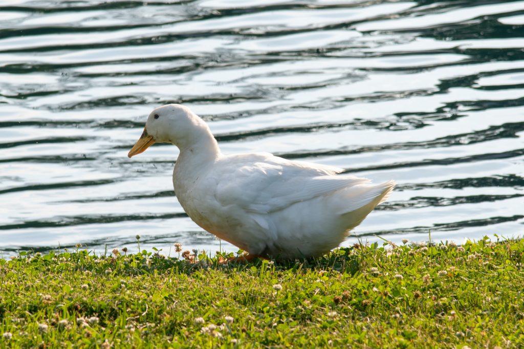 duck genome breed